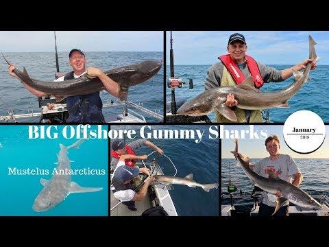 BIG Offshore Gummy Sharks
