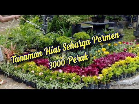Tanaman Hias Harga 3000 perak, Seharga Permen. - YouTube
