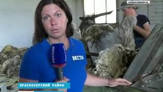 Селяне Новосибирской области начали стричь овец