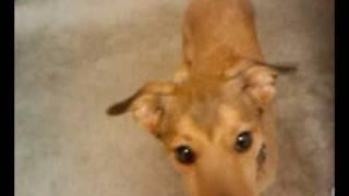 Bruce The Jrt/dachshund