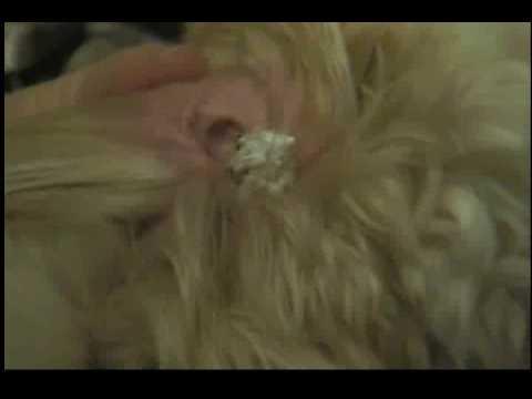 Grooming (ear plucking!!)