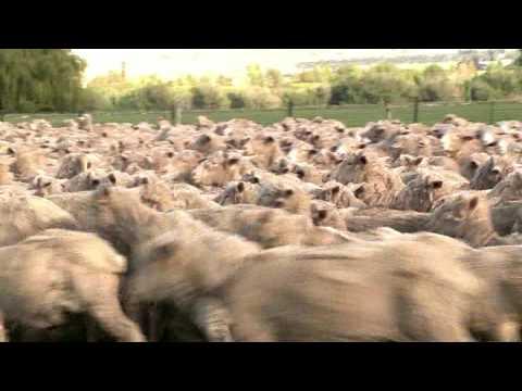 """Merino Roundup - """"Sheep Station NZ"""" taster 08"""
