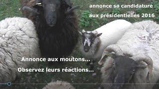 candidat lotois aux présidentielles France 2017 : annonce devant un auditoire de moutons