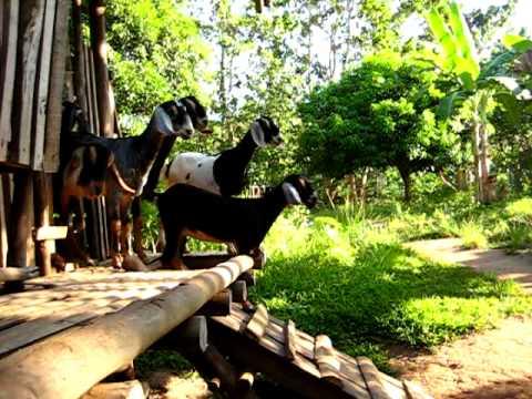 Sagana Farm Nubians - Morning Exercise