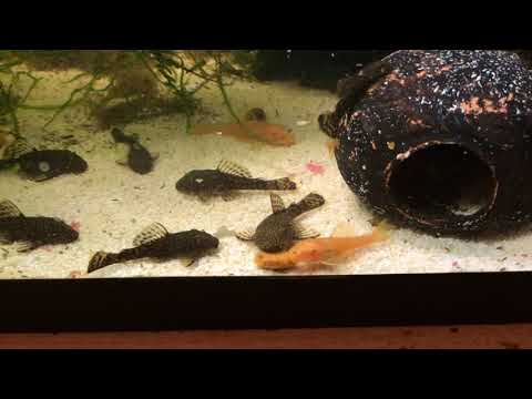 Happy Growing Baby Bristlenose Plecos