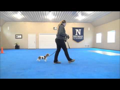 Gizmo (Cavalier Spaniel) Puppy Camp Training Demonstration