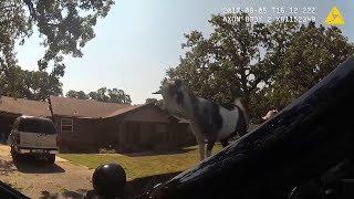 Goat Jumps On Police Car Hood