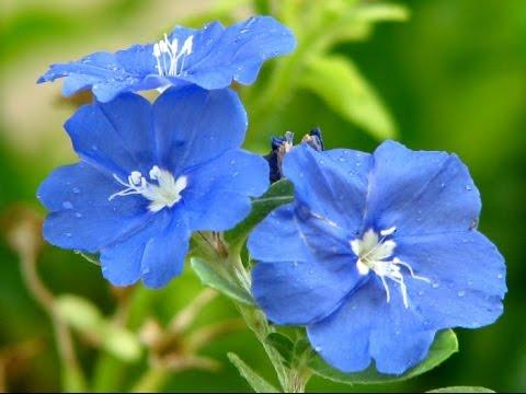#flor azul