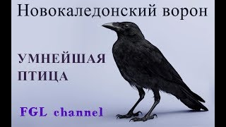 Новокаледонский ворон / Умнейшая птица