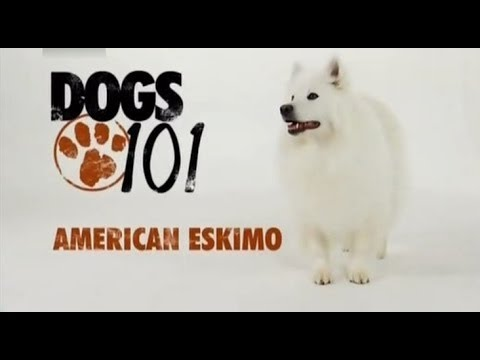 DOGS 101 - American Eskimo [ENG]