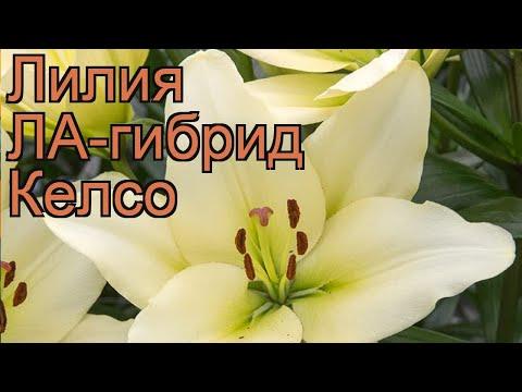 Лилия ла-гибрид Келсо (lilium la-hybrids kelso) �� лилия Келсо обзор: как сажать луковицы лилии Келсо
