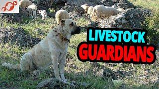 Livestock Guardian Dogs  TOP 10 Best Livestock Guardian Dog Breeds!