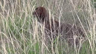 キジの匂いに夢中なヴィッツです!鳥猟犬の本能が芽生えてきた感じです!