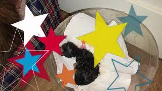 "Litter ""B"" ANGEL SAVAGE 01.01.2018 вес при рождении"