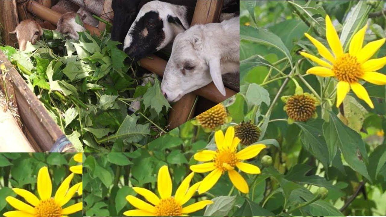 La árnica o botón de oro como alimento de animales de granja - YouTube