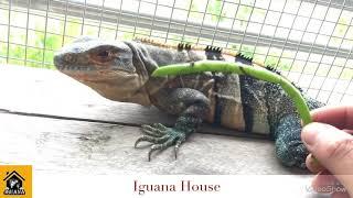 Iguana House  Thuần Em Spiny Tail Cũng Không Khó Như Bạn Nghĩ