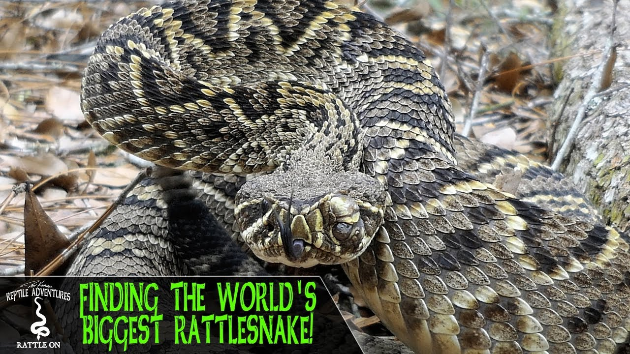 FINDING THE BIGGEST RATTLESNAKE IN THE WORLD! (Eastern Diamondback  Rattlesnake, Crotalus adamanteus)