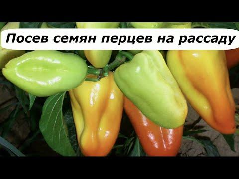 438  Посев семян перца на рассаду