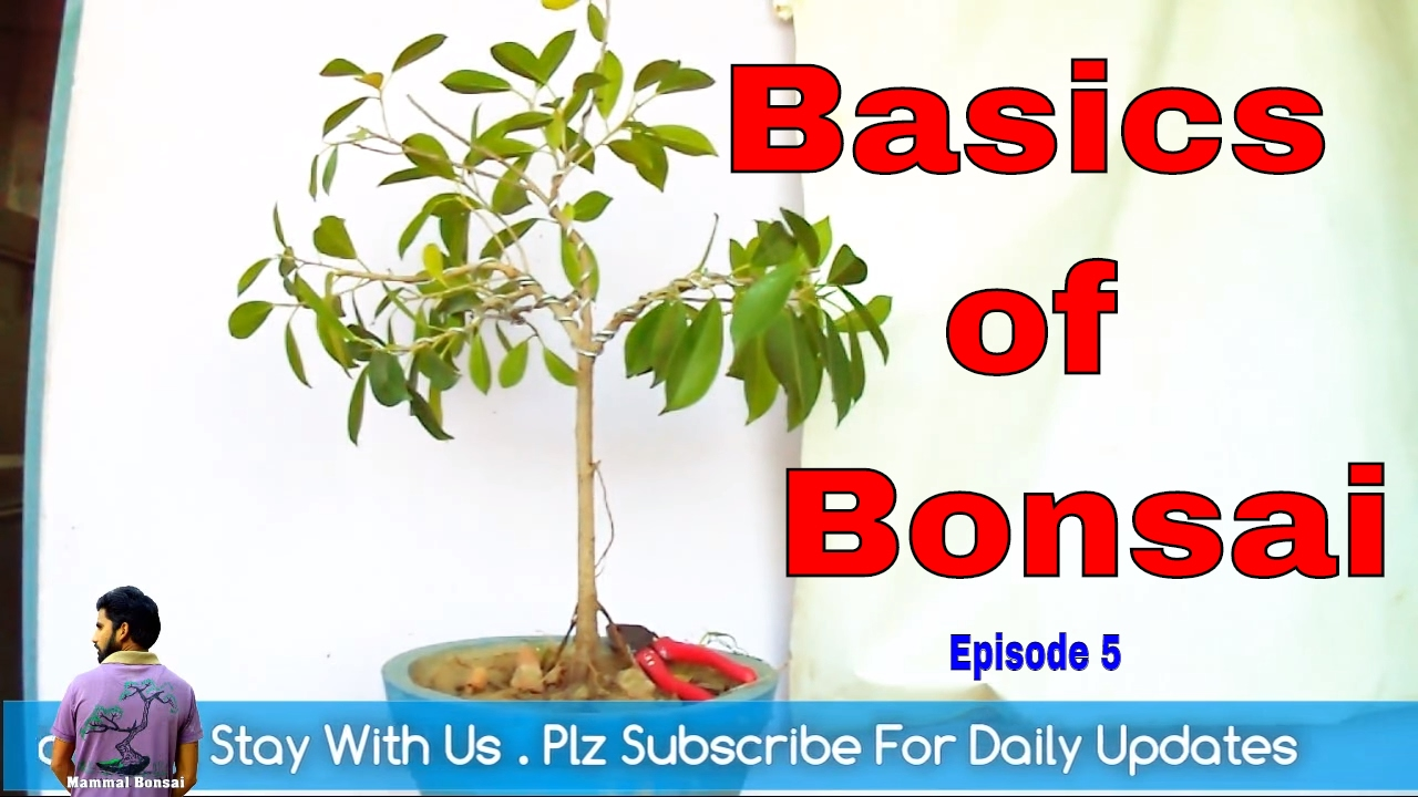 The Basics Of Bonsai Episode 5 Wiring Not For Dummies Mammal