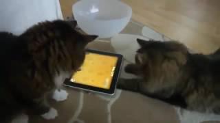 Коты играют на планшете