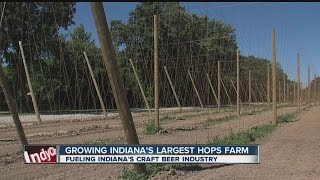 Growing Indiana's largest hops farm