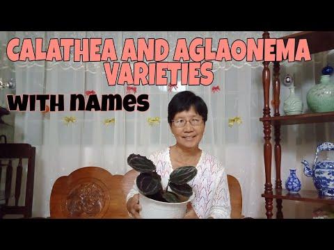 Mga Trending na Halaman! Calathea and Aglaonema Varieties   With Names