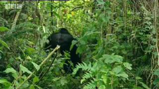 Mountain gorilla - extreme animals - BBC wildlife