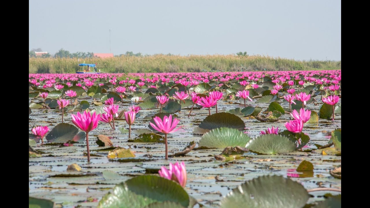 Beautiful Lotus Flower In The World