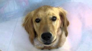 Golden Retriever Puppy, In The Cone Of Shame And Singing, Youtube
