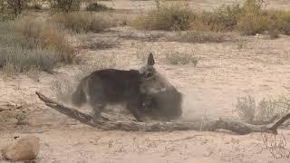 Wild Dogs teaching good lession to Stolelar Hyena
