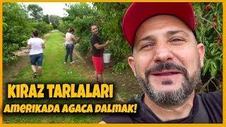 Amerikada Agaca Dalmak! | Kiraz Tarlaları
