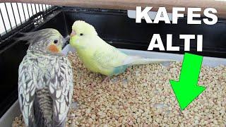 Muhabbet Kuşu Kafes Altında Ne Kullanıyorsunuz ?   Mısır Granülü   Kafes Altı Kumu
