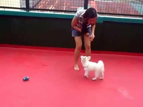 Kitkat's tricks (3-month old Japanese Spitz Tricks