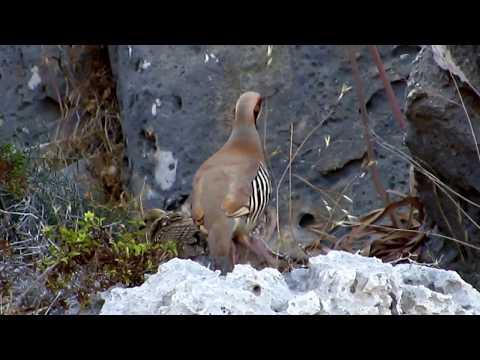 Chukar partridge or chukar (Alectoris chukar) Νησιώτικη Πέρδικα - Πέρδικα - Πέρτικος - Cyprus