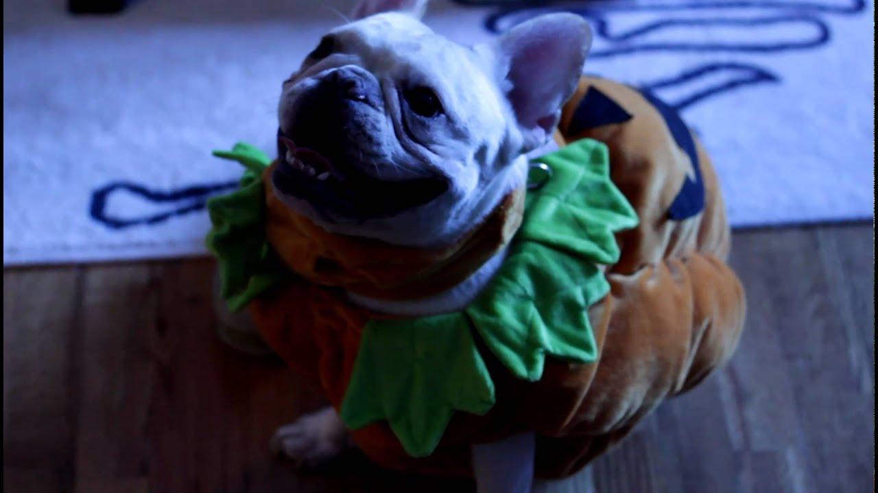 French Bulldog Halloween Costume & French Bulldog Halloween Costume - YouTube