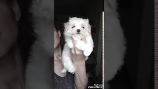 Dog for sale  Theoron the 8 weeks old male Maltese puppy