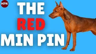 The Red Miniature Pinscher: Stag vs Clear, Price, Health,Temperament