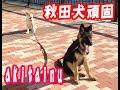 秋田犬仔犬頑固ですパート2 Akitainu dog stubborn