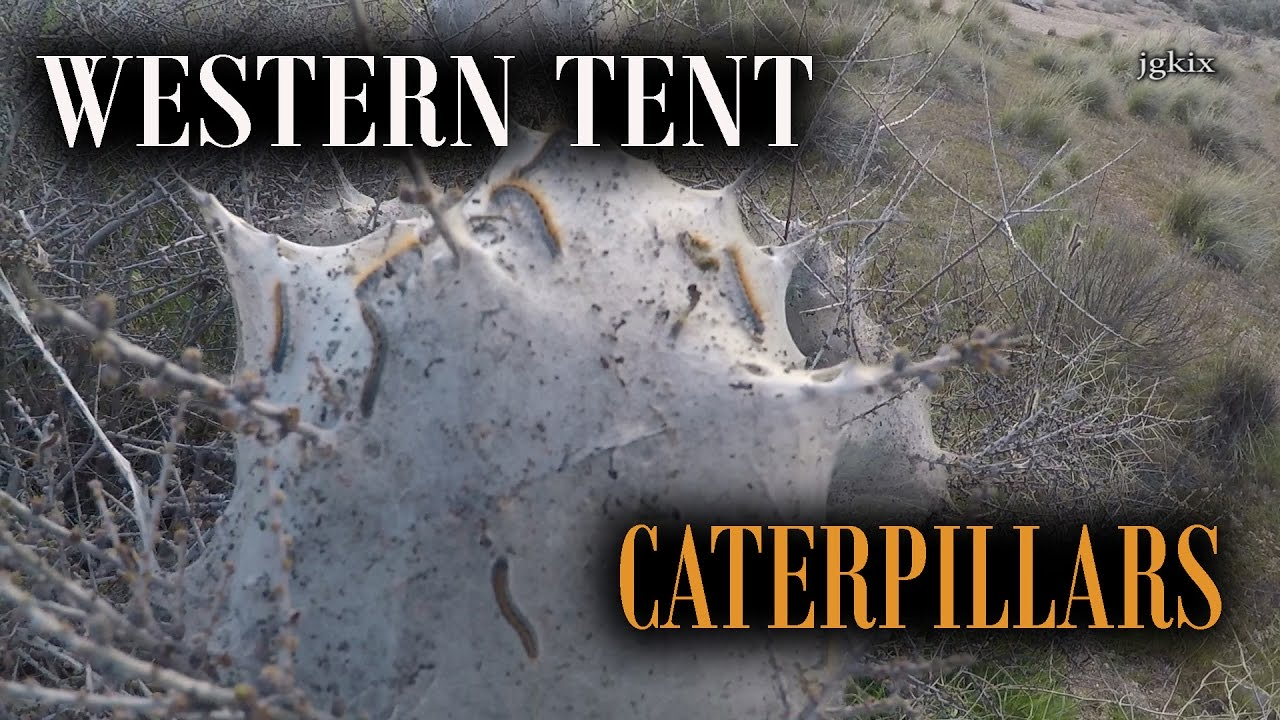Western Tent Caterpillers & Western Tent Caterpillers - YouTube