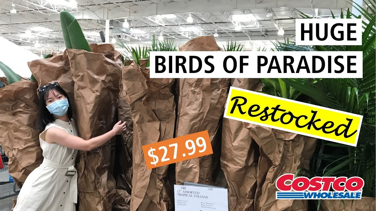 Costco Finally Restocked Huge Birds Of Paradise For 27 99 And Many Other Tropical Plants Too Youtube
