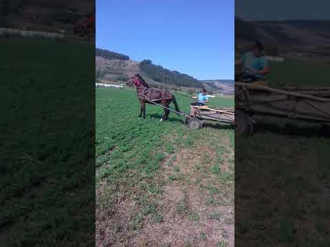 Caii lui tarcea  de la cluj