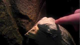 Bearded Dragon eat lobster roaches