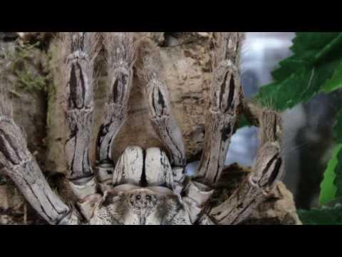 HD 1080p Togo Starburst Baboon [Heteroscodra maculata]