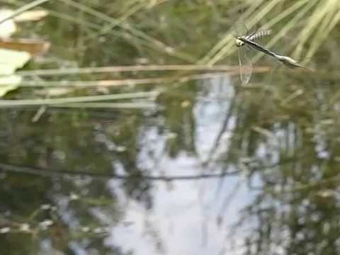 Dragonfly Behaviour: Flight & Fight Of Southern Hawker (Aeshna Cyanea)