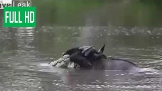 В мире животных.БУЙВОЛЫ ПОБЕДИЛИ ЛЬВА!!!!!!!  борьба диких животных