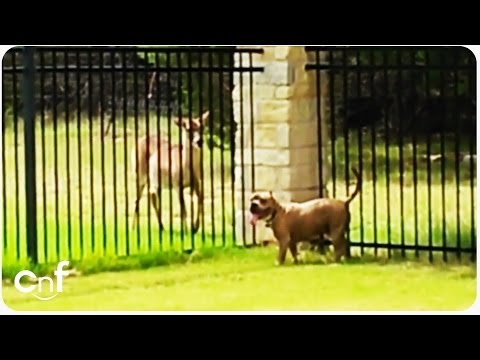 Pit Bull Dog Plays with Deer | Unlikely Friends