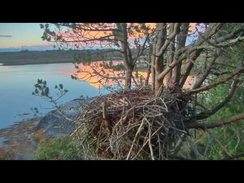 Smola Norway Eagles Nest Cam ~ Solo Is Heard Close To Nest 8.8.17