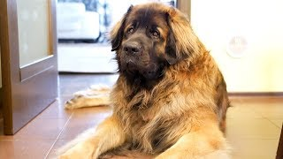 Леонбергер Михей 2 года 82кг. День рождения. Leonberger Micah 2 years