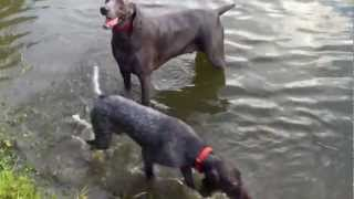 Madoc Our German Shorthaired Pointer Pup With His Buddy Bowden The Weimaraner Doing Some Water Work