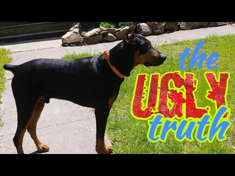 Doberman Pinscher - Not always rainbows and butterflies